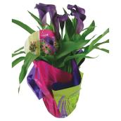 Calla assortie, pot de 4 1/2""