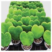 """Plante Hoya kerrii, 2,25"""", assorties"""