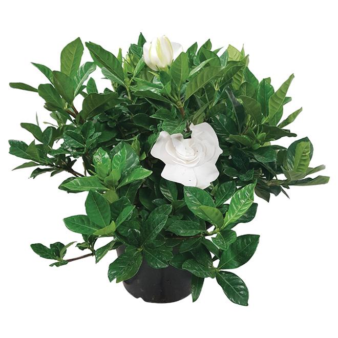 """Assorted Gardenia - 4 1/2"""" Pot"""