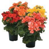 """Begonia assortie, pot de 6"""""""