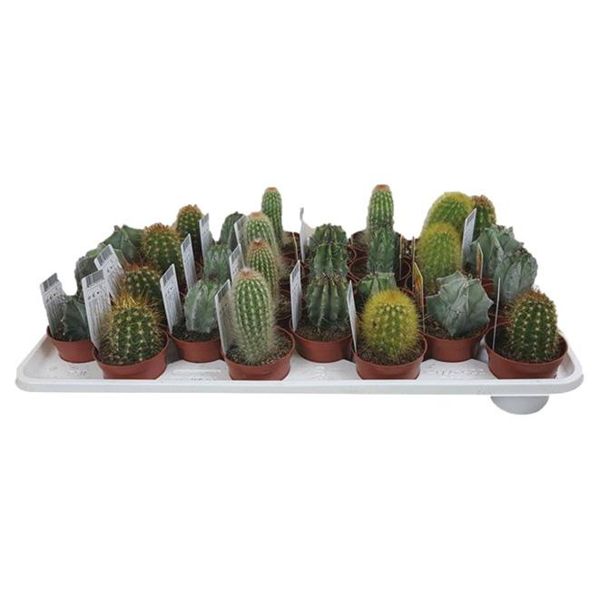 """Cactus assorti, pot de 2 1/2"""""""