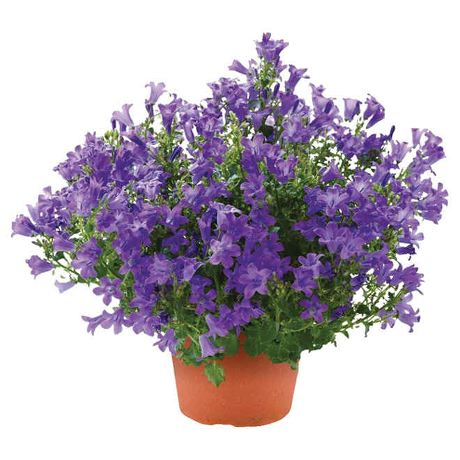 Campanula - 4.5 In Pot - Assorted Colour
