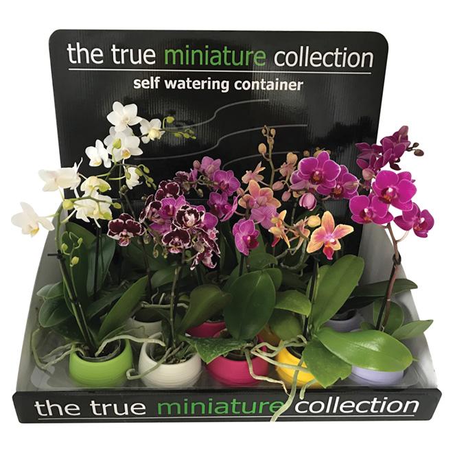 ENT. MARSOLAIS Mini Orchidée PHA2.5DECO | RONA