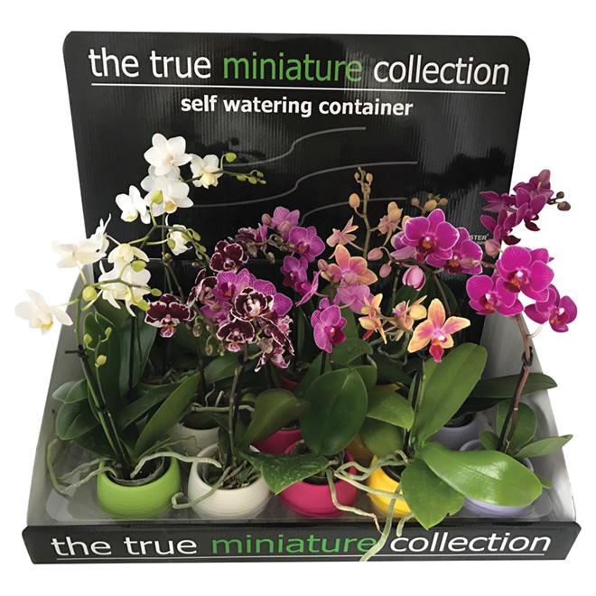 Mini Orchidée