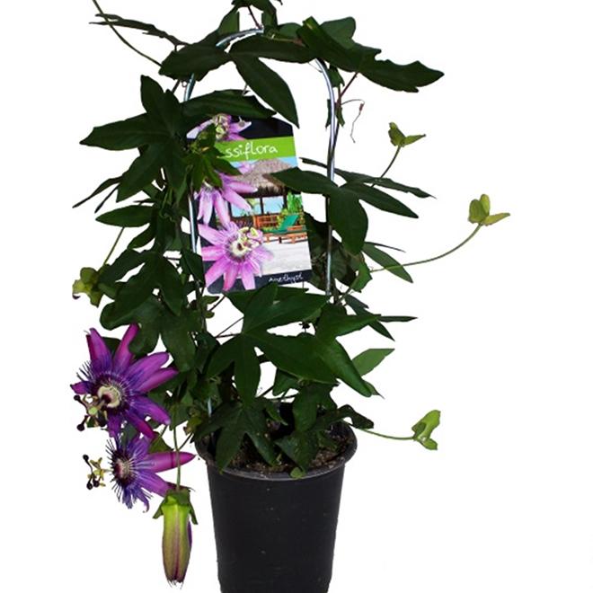 Passiflora Trellis - 5-in Pot