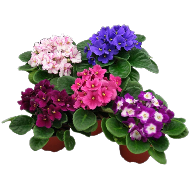 """African Violets - 4"""" - Assorted Colours"""
