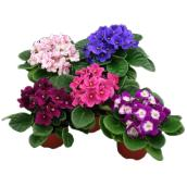 "African Violets - 4"" - Assorted Colours"