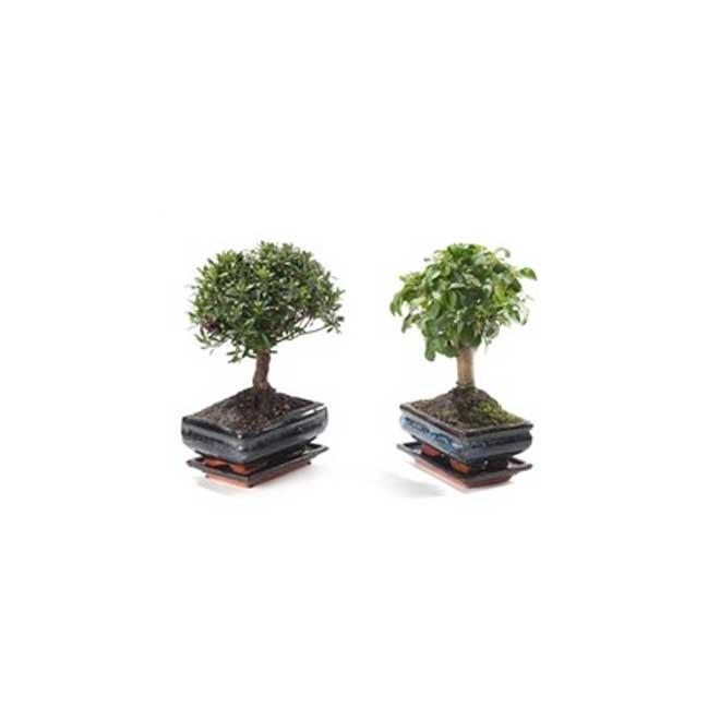 Bonsai, Marsolais plantes, 6 1/2'', vert
