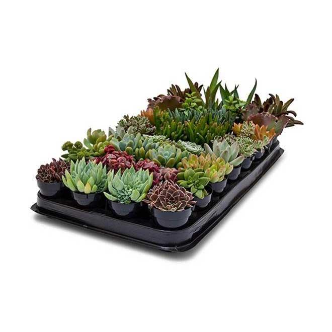 """Succulentes assorties, pot de 2,5"""""""