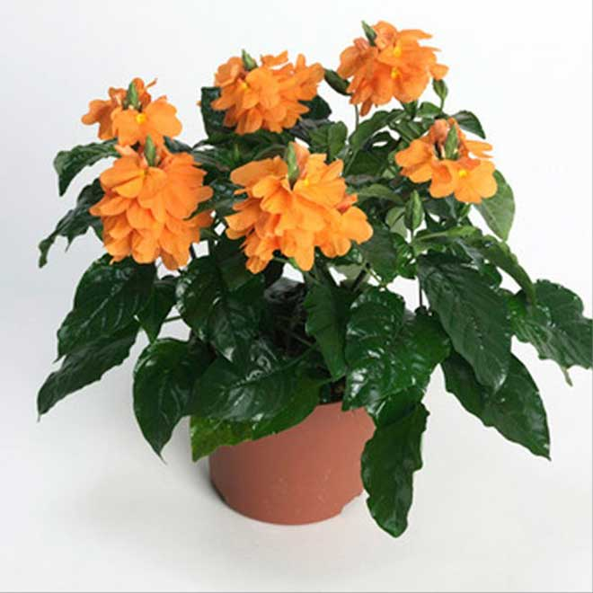 "Crossandra - 4"" Pot - Salmon"