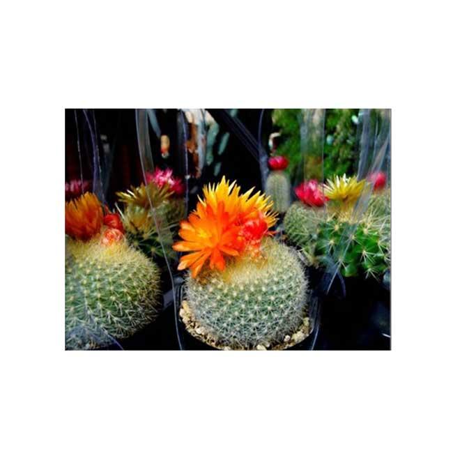 "Straw Flower Cactus - 2.5"" - Assorted"