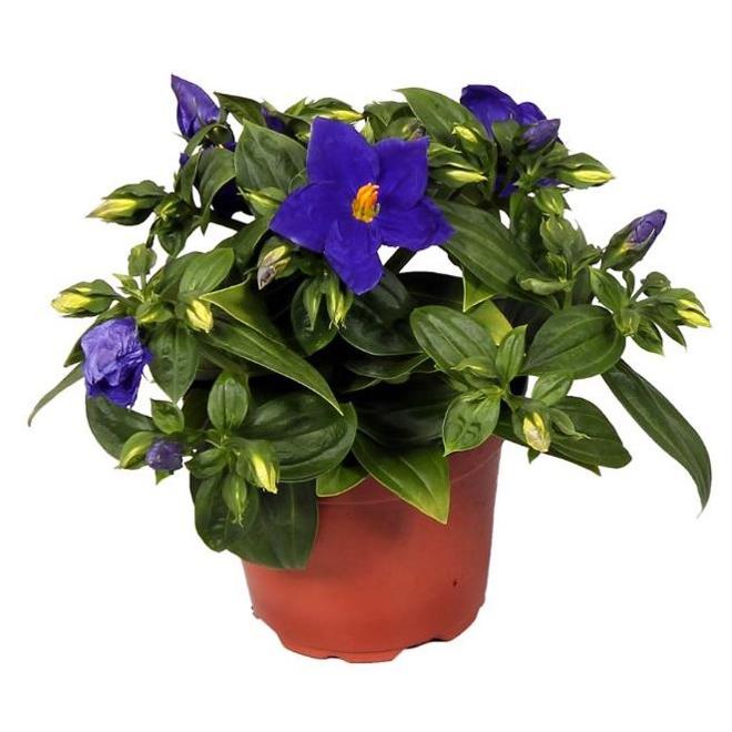 "Violette de Perse, pot de 4"", mauve/bleu"