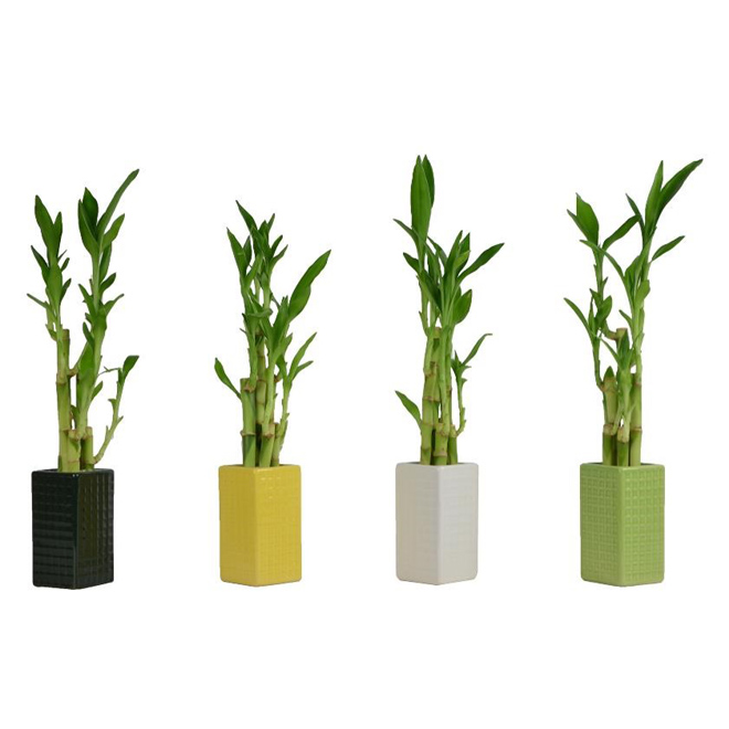 Assorted 3-Stalk Lucky Bamboo - 3""