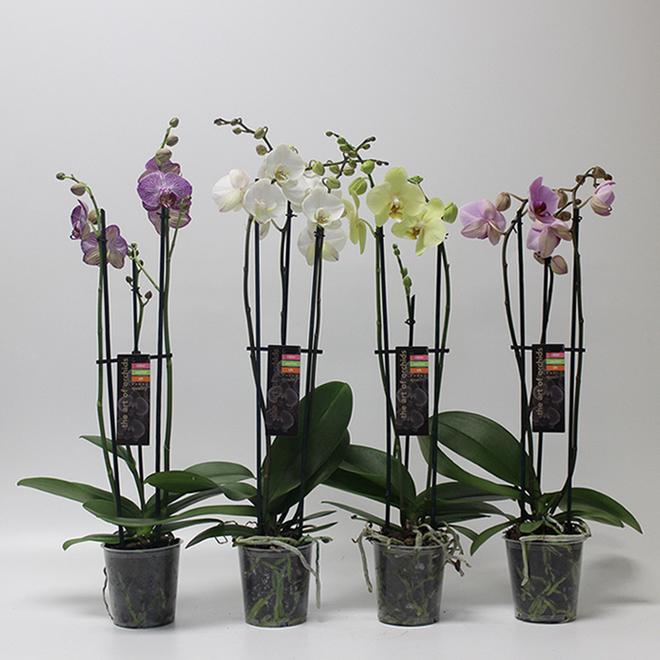 Orchidée phalaenopsis à 3 tiges, pot de 5 po, couleurs assorties