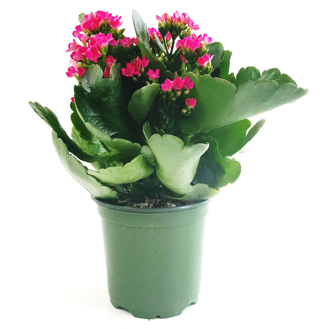 "Kalanchoe, pot de 4"", couleurs assorties"