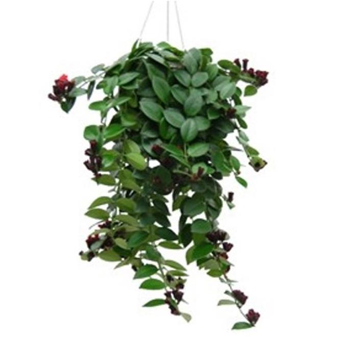 "Aeschynanthus Lobbianus - 8"" - Green"