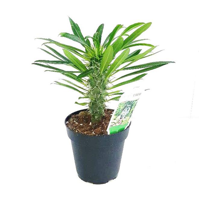 Pachypodium, 4 In Pot