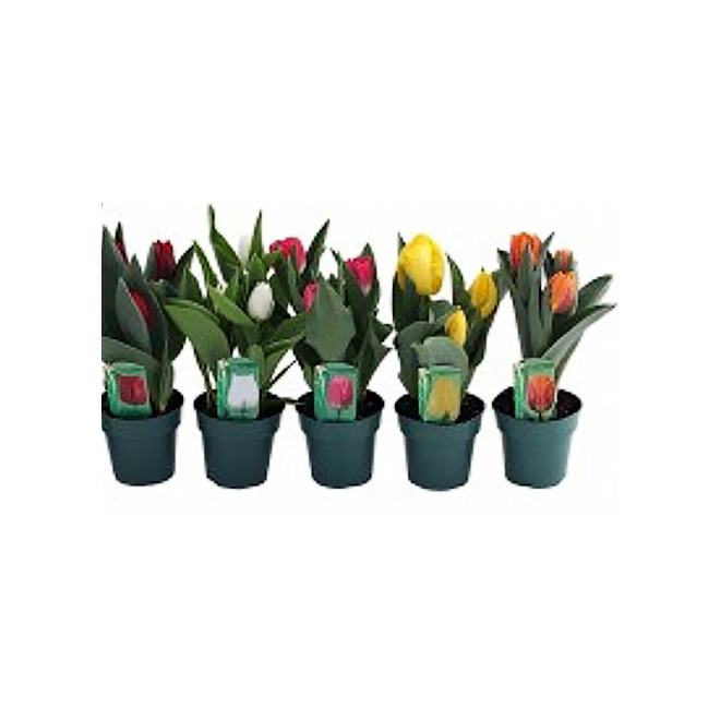 """Tulip - 4"""" Growing Pot - Assorted Colours"""