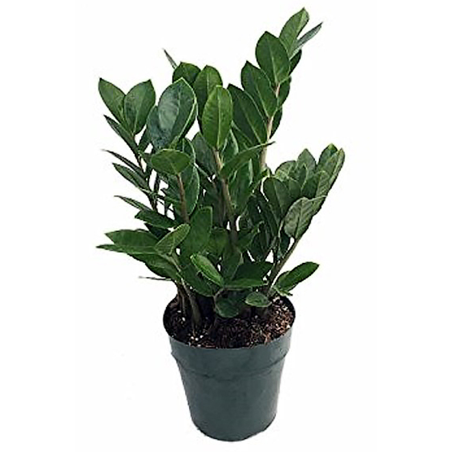 Zamioculcas - Tropical Plant - 4 In