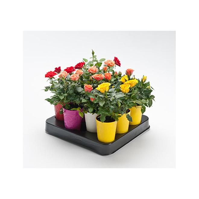 Assorted Mini Roses - 2.5-in Self-Watering Pot