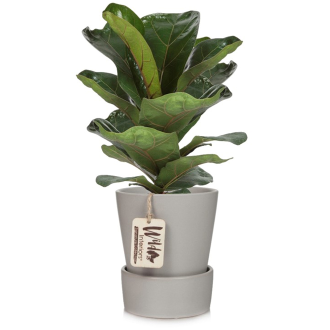 Marsolais Entreprises - Ficus Lyrata - 5-in DecorativePot