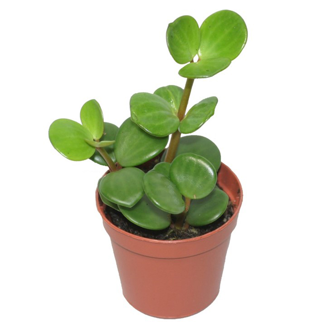 Marsolais Entreprises - Peperomia Hope - 4-in Pot