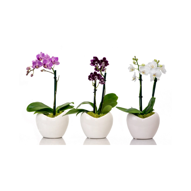 Entreprises Marsolais - Assorted Mini Phalaenopsis Orchid - 2-in Heart-Shaped Decorative Pot