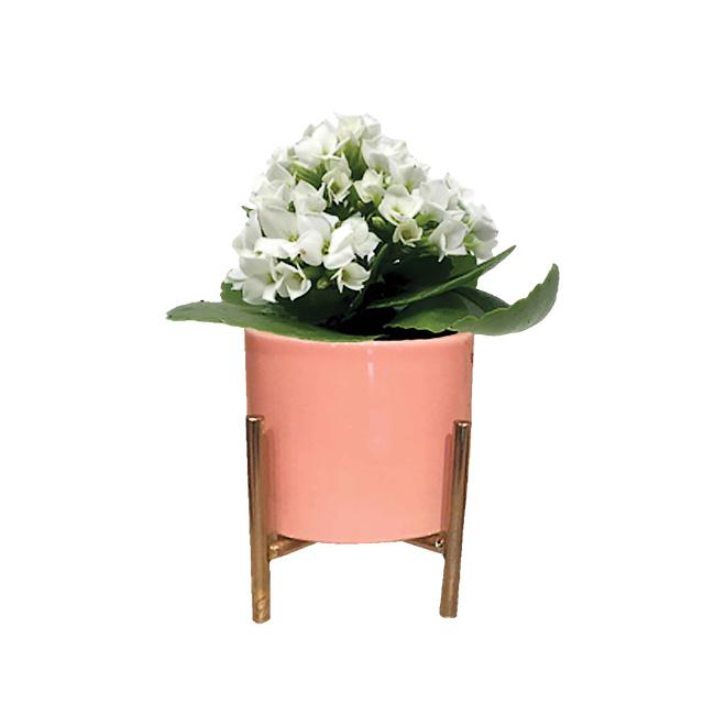 "Mini Kalanchoe - Ceramic Pot - 2 3/4"" - Assorted Colours"