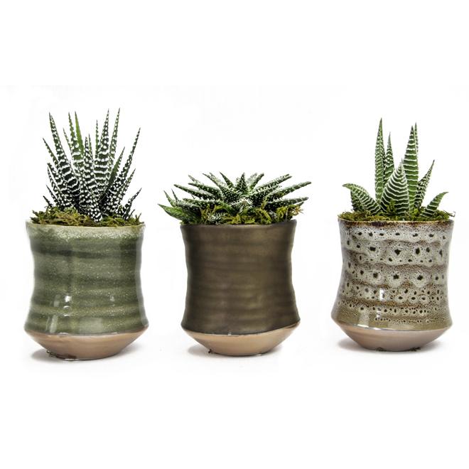 Aloes et haworthia, pot en porcelaine