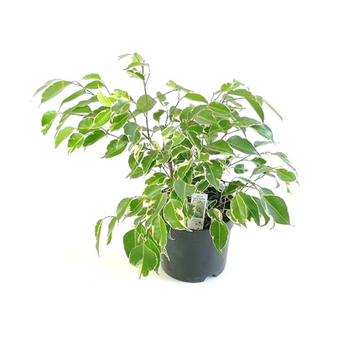 Ficus Benjamina - 6'' Pot