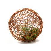 Tillandsia in Grapevine Ball