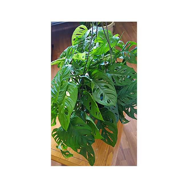 """Philodendron - Hanging Basket - 8"""""""
