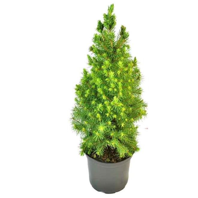 Épinette Alberta, mini arbre de Noël, pot de culture de 4''