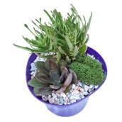 Jardin de succulentes, pot de 4 po, assorti
