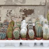 Cactus en pot, Entreprises Marsolais, 1,5'', assorti