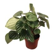 Peperomia Watermelon - 6-in Grower pot