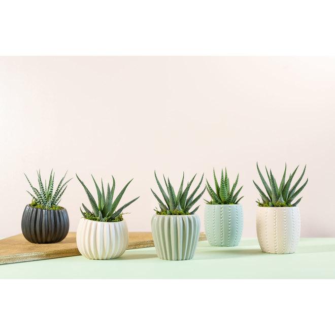 Succulentes en pot Calantha, modèles assortis