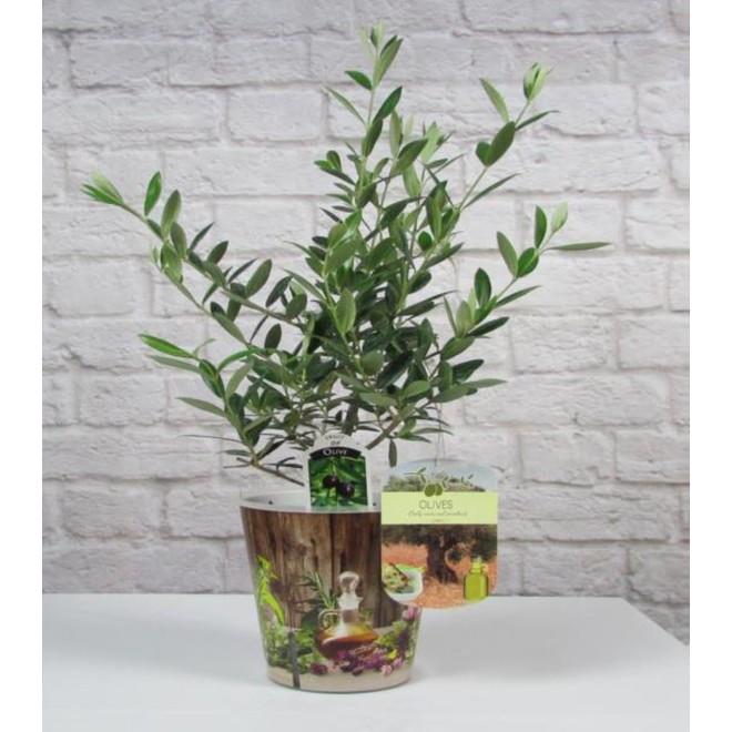 Olive Tree - 5-in pot