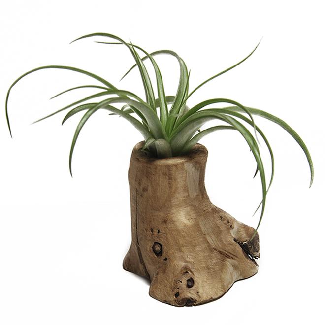"""Tillandsia - Tree of Life - 3.5"""" Pot"""