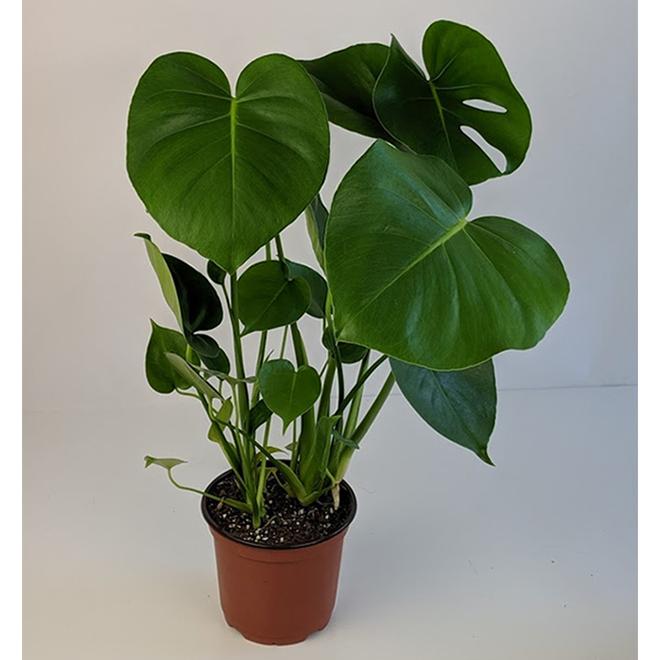 Entreprises Marsolais - Philodendron Monstera - 6-in Pot