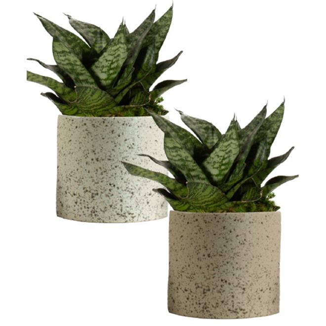 Sanseviera Cylindrica - Entreprises Marsolais - Stone Effect Decorative Pot
