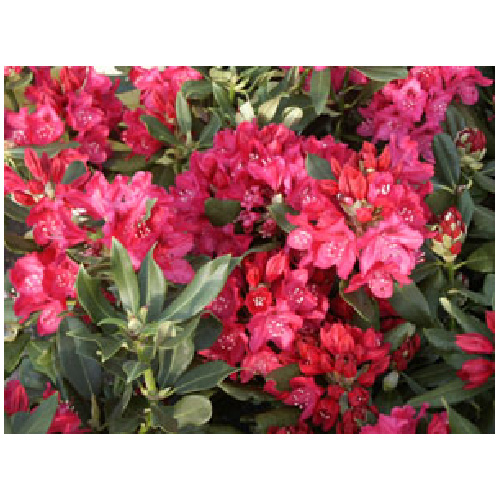 Rhododendron, 2 gallons, couleurs assorties