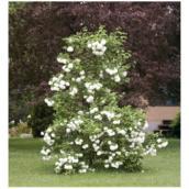 Viburnum roseum, pot #3