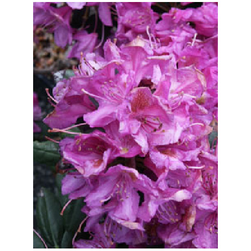 Rhododendron, assortis