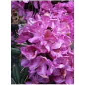 Rhododendron - Assorted