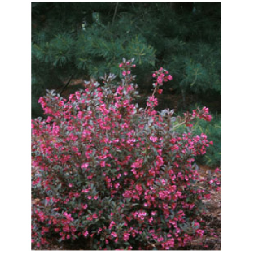 Weigela - Assorted