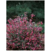 Weigela, assortis