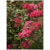 Spirea - Assorted
