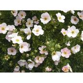 Potentilla - Assorted - 2-Gallon Pot