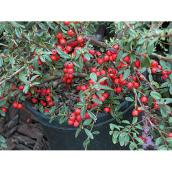 Cotoneaster Coral Beauty - 1 Gallon - Green/Red